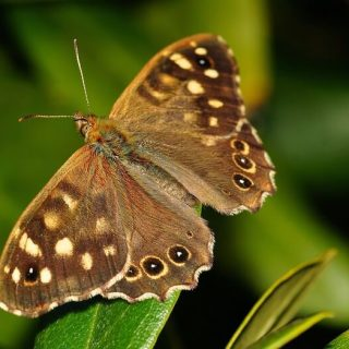 Speckled Wood - Tircis
